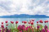 Tulipany nad brzegiem jeziora - 52868151