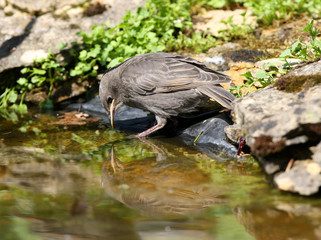 A juvenile Starling looking at his reflection in a pond