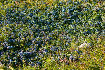 Field of Blueberries