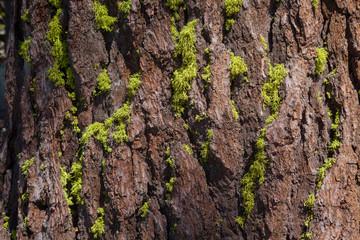 Moss on Pine Tree