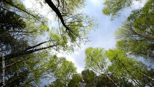 High angle view looking up at the top giant hardwood trees