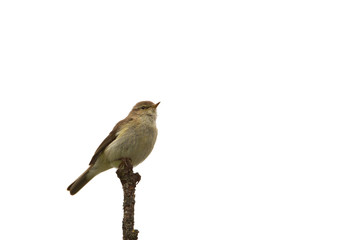 Chiffchaff on a branch