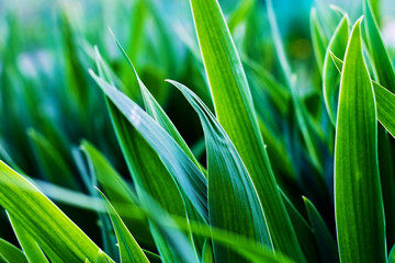 The leaves of irises