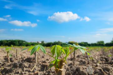 Cassava tree with blue sky
