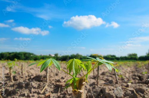 Cassava tree with blue sky