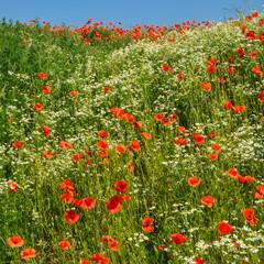 Blumenwiese im Sommer