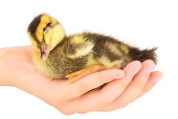 Sleeping cute duckling in hand isolated on white