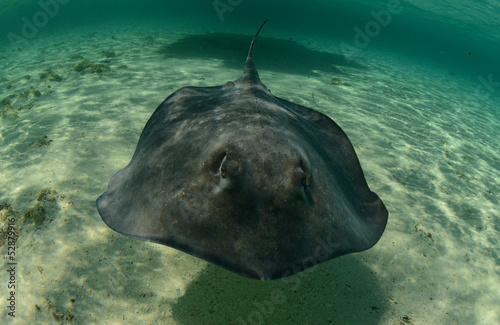 Stingray swimming in the ocean underwater