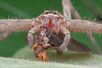 A huntsman spider with winged termite prey