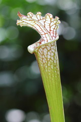 Single White Pitcher Plant (Sarracenia leucophylla)