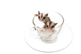 two little joey in tea cup,little sugar glider poster
