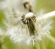 Wünsche erfüllen: Flugschirme der Pusteblume beim Start