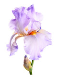 Iris flower. Isolated on white background
