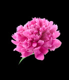Pink peony. isolated on black