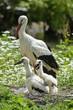 Piccoli di cicogna con la madre