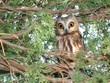 Surprised Northern Saw-whet Owl