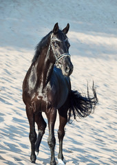 Beautiful black stallion in the desert