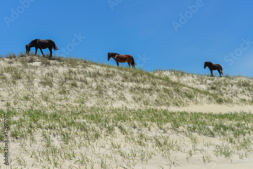 spanish mustangs wild horses on the dunes in north carolina