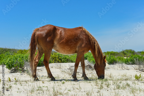 spanish mustang wild horse on the dunes in north carolina