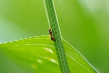 Ant Climbing Green Grass