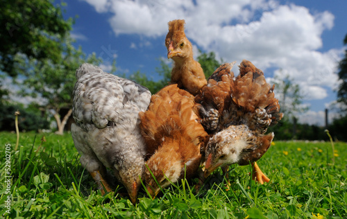 Baby Chickens Eating from the Ground