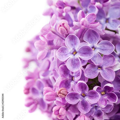 Papiers peints Lilac Lilac branch