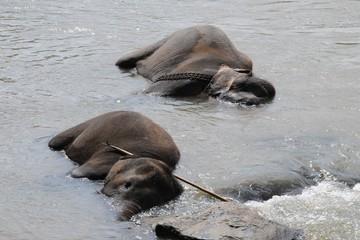 Elephants in Ceylon