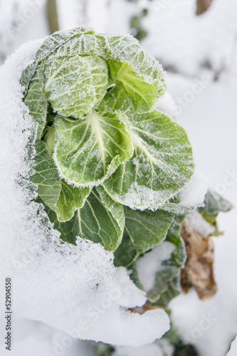Wintry Cabbage Plant