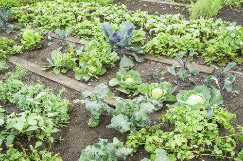 Cabbage Plants in a Vegetable Garden Patch