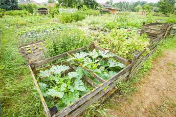 Zucchini Plants in Compost Bins
