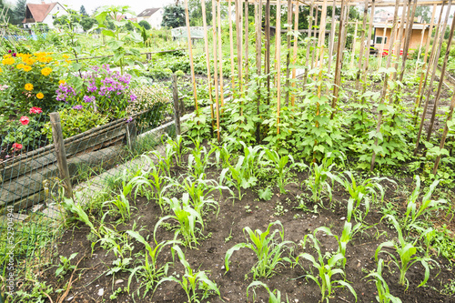 Corn Plants in a Vegetable Garden Patch