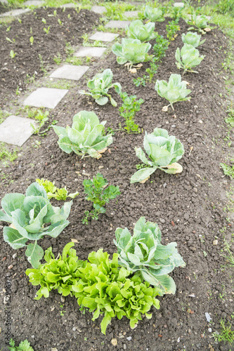 White Cabbage and Lettuce in a Vegetable Garden Patch