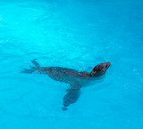 Seal swimming in blue saltwater poster