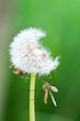 mosquito insect perched on a dandelion
