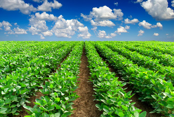 Rows on the field. Agricultura landscape