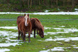 horses grazing in a snowy field