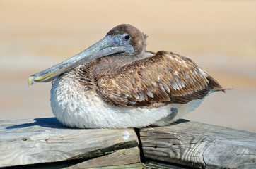 brown pelican resting on a fishing pier