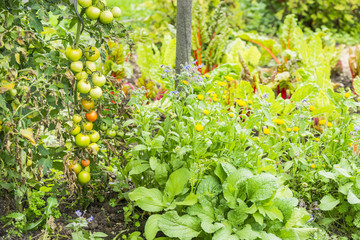 Green Tomatos in a Vegetable Garden Patch