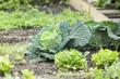 Savoy Cabbage in a vegetable garden patch