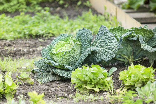 Savoy Cabbage in a vegetable garden patch