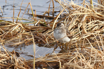 The sandpiper on a bog