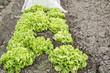 Endive Plants in a Vegetable Garden
