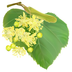 The branch of blossoming linden