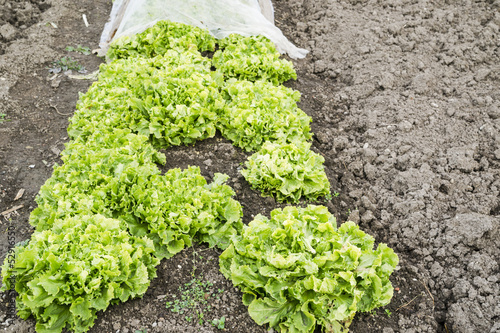 Endive Plants in a Vegetable Garden