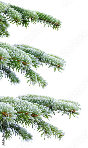Christmas evergreen spruce tree with frost on white