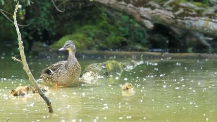 Famille de canard sauvage