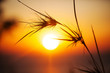 Silhouette of grass in sunset time.