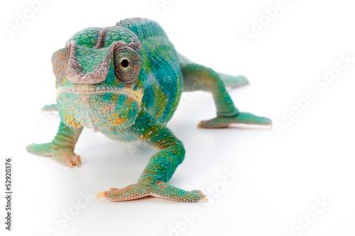 Keuken foto achterwand Kameleon pantherchamäleon 3