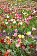 Feld voller bunter Blumen und Tulpen