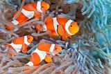 Fototapety Clownfish